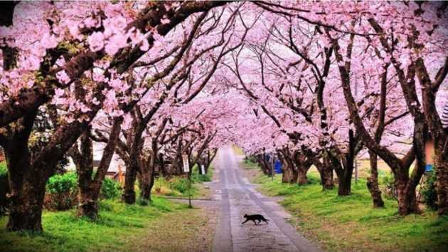 Can't Keep Calm- Gotta Go Attend The Cherry Blossom Festival in INDIA!